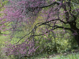 View of a Blooming Redbud Tree