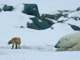 A Red Fox and a Polar Bear Eye Each Other Cautiously on the Hudson Bay Coast