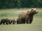 An Alaskan Brown Bear Leads Her Three Cubs
