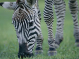 Close View of a Grants Zebra Grazing