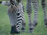 Close View of a Grants Zebra Grazing
