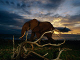 An African Elephant (Loxodonta Africana) Walking Along the Beach