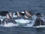 A Group of Humpback Whales Bubble Net Hunting and Feeding Together
