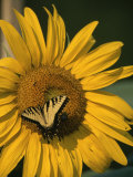 A Yellow Swallowtail Butterfly Sits on a Sunflower in the Sun