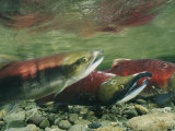 Hook-Jawed and Determined  a Male Sockeye Salmon in the Upper Kennedy River