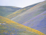 California Poppies  Lupines  and Goldfield Cover Gentle Hillsides