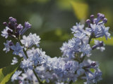 Close View of Hyacinth Lilacs (Syringa Hyachinthiflora)