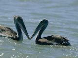 Brown Pelicans Touching Beaks