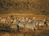 Zebras Herd in the Ngorongoro Crater