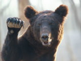 A Bear Waves at the Camera