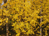 A Birch Tree Yellowed by the Autumn Season