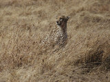 A Camouflaged Cheetah Sits Alone in a Field of Tall Grass in Serengeti National Park