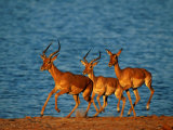 A Trio of Impala Prance Along a Shoreline