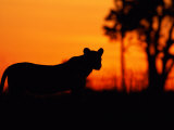 Silhouette of a Lioness from the Central Pride