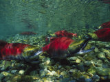 Red Salmon Look for the Perfect Place to Lay Eggs