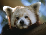 Close View of a Red Panda