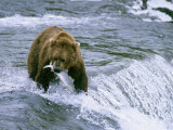Grizzly Bear (Ursus Arctos) Fishing at Brook Falls  Katmai National Park  Alaska