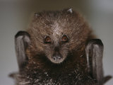 Close View of a Rare Rodrigues Fruit Bat