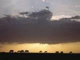 Grazing Cattle Silhouetted against Sunrise Sky