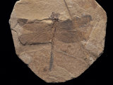 Dragonfly Fossil Discovered at Sihetun  China