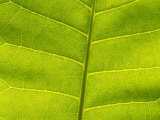 A Close View of the Leaf of the Rare Hawaiian Plum