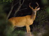 A Buck Stands on the Alert