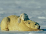 A Polar Bear Cub Rests Comfortably Atop the Back of His Mother