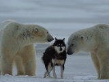 Two Polar Bears (Ursus Maritimus) Sniff a Chained Husky
