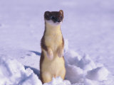 A Portrait of a Weasel