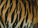 Close View of the Stripes on a Indian Tiger
