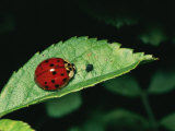 A Close View of a Ladybug and Aphid on a Leaf