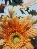 A Close-up of Daisies