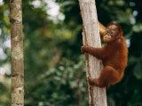 A Bornean Orangutan Baby