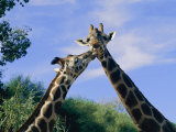 Giraffes Nuzzle One Another