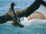 A Tiger Shark Feeds on a Young Albatross