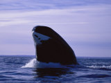 A Bowhead Whale  Also Known as a Greenland Right Whale