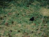 A Black Cat