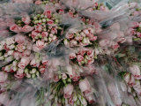 Bundles of Pink Roses are Gathered for Sale