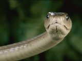 Black Mamba Snake (Dendroaspis Polylepis Polylepis)