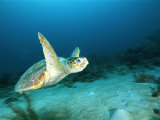 An Endangered Loggerhead Turtle with a Missing Right Rear Flipper