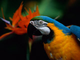 A Portrait of Henry the Macaw  Who Resided in National Geographics Explorers Hall for over 20 Years