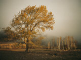 Golden Sunlit Tree in the Mist