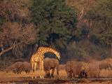 Elephants and a Solitary Giraffe Share a Water Hole