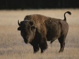 American Bison on Grassland