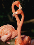 Two Captive Chilean Flamingos