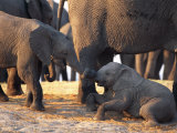 Juvenile African Elephants Touch Trunks