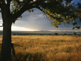 A Tree Frames a Golden Grassland and Rolling Hills under a Stormy Sky