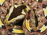 Rhinoceros Viper