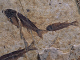 Fish Fossils Found at Sihetun  Liaoning Province  China