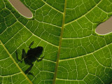 The Silhouette of a Tree Frog Seen Through a Veined Leaf